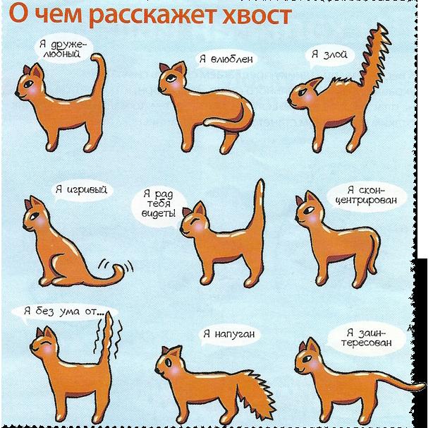 О чем говорит положение хвоста кота