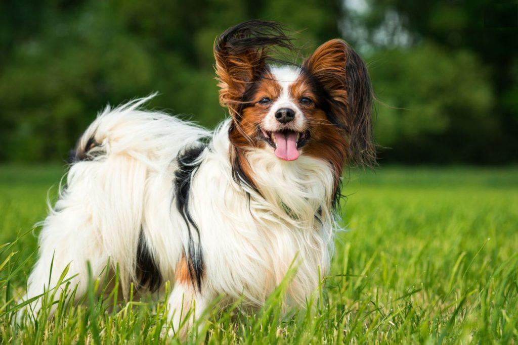 Папильонов можно смело выводить на прогулку - эти собаки отлично разбираются в правилах этикета
