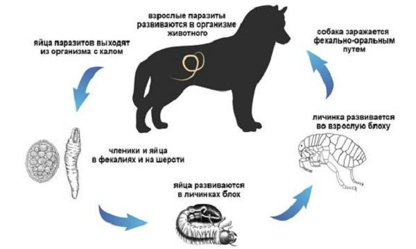 Паразиты поджидают вашу собаку везде, защитите ее с помощью медицинских средств