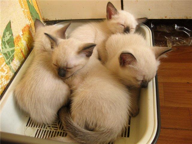 Первое время сиамские котята могут использовать лоток не по прямому назначению