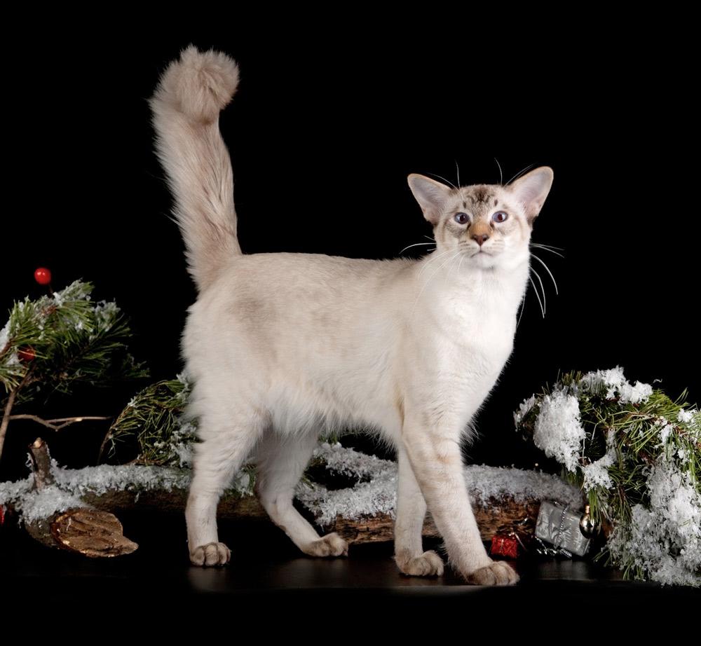 Первую балинезийскую кошку в России увидели только в конце двадцатого века