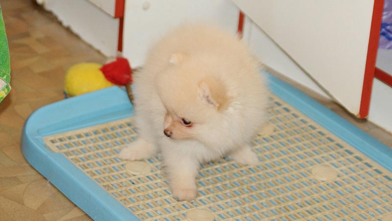 Первые недели за щенком нужно последить и при необходимости переносить его к лотку