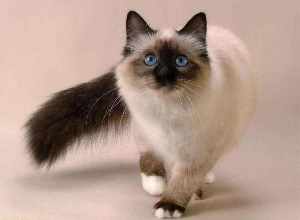 Первые опыты по разведению сиамских кошек на территории России оказались неудачны