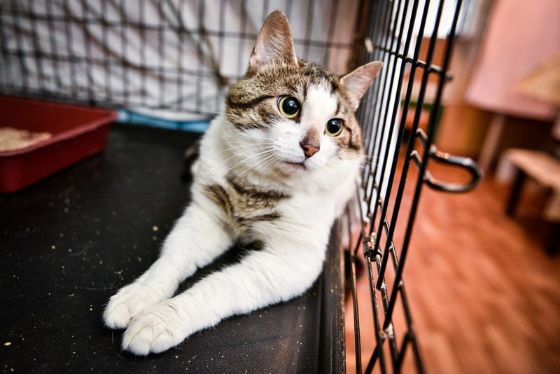 Первые часы после выхода из наркоза за котом нужно следить, или поместить его в клетку