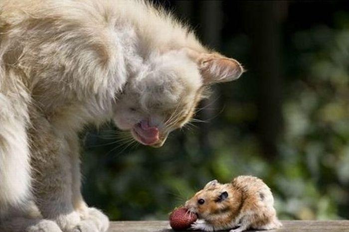 Переваривание пищи, богатой белком, происходит благополучно у всех представителей кошачьих