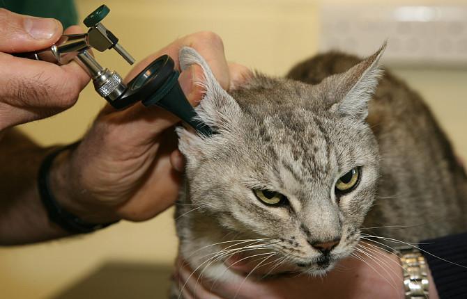 Перед лечением необходимо обязательно проконсультироваться с ветеринаром