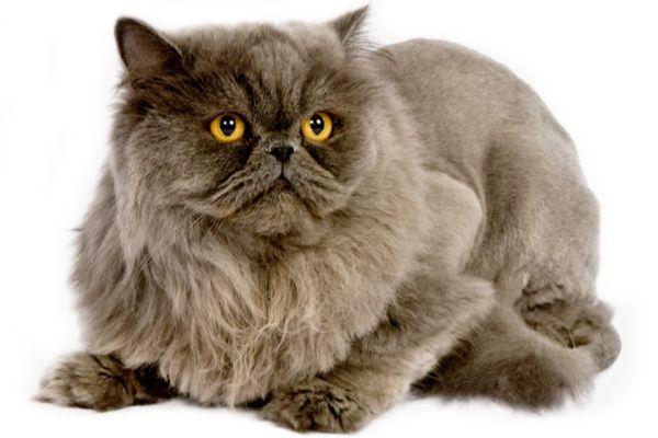 Персидская дымчатая кошка