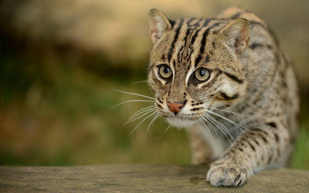 Пищеварение одомашненных и диких котов существенно отличаются друг от друга