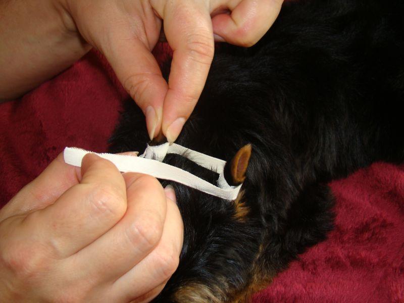 Подклеивание ушей миниатюрному псу