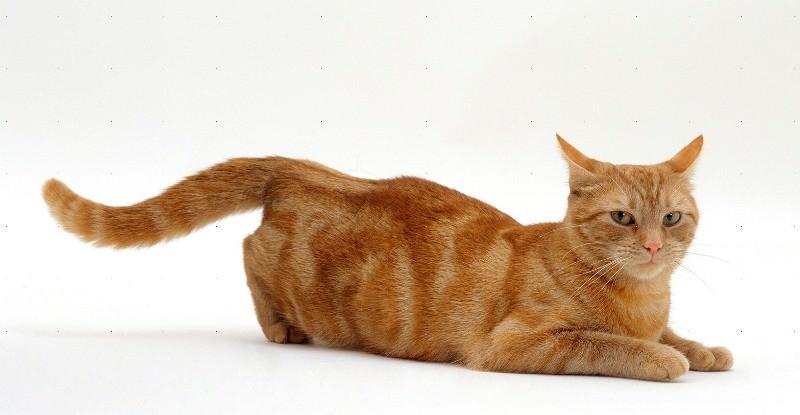 Поза возбужденной кошки
