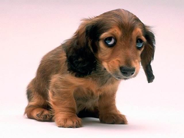 Поза собаки, чувствующей вину за свой проступок
