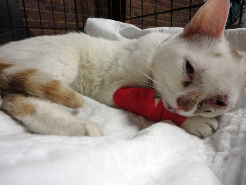 Полным котам дается сложнее и восстановление после переломов, из-за большой нагрузки на суставы