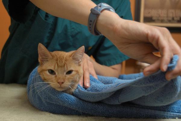 Полотенце поможет зафиксировать кошку для укола