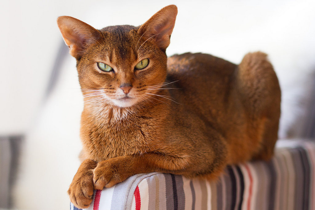 Породистость проявляется не только в облике, но и в повадках кота