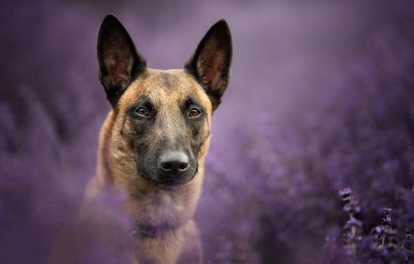 Портретное фото бельгийской овчарки