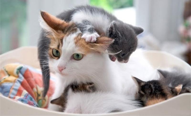 После родов кошка выходит на «охоту» через 5–6 месяцев