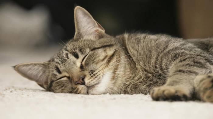После сна некоторые коты облизывают носы, чтобы привести их в порядок