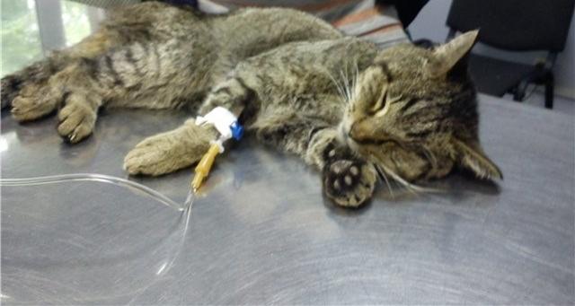 После тяжёлых родов кошке установили капельницу