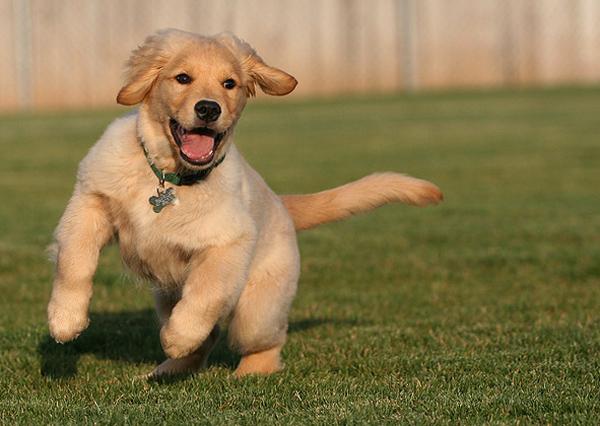 Послушный и не запуганный щенок будет бежать к хозяину по первому его зову