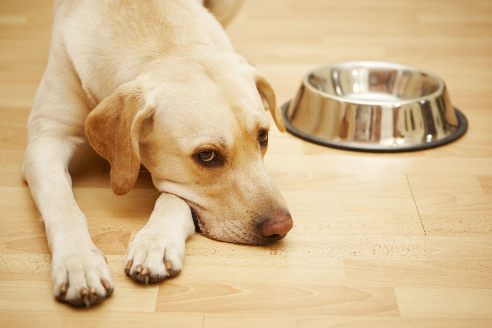Потеря аппетита – тревожный симптом, при котором рекомендуется измерить собаке температуру