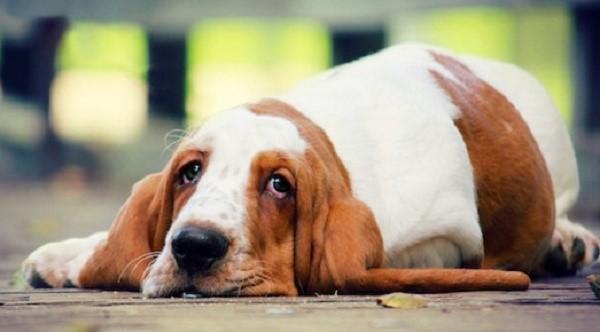 Почему повышена щелочная фосфатаза в крови у собаки?