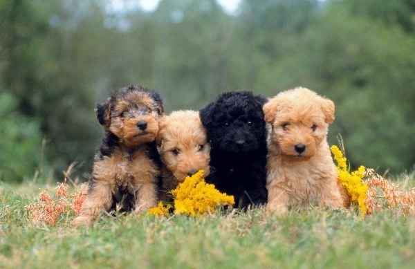Почти все терьеры относятся к гипоаллергенным собакам