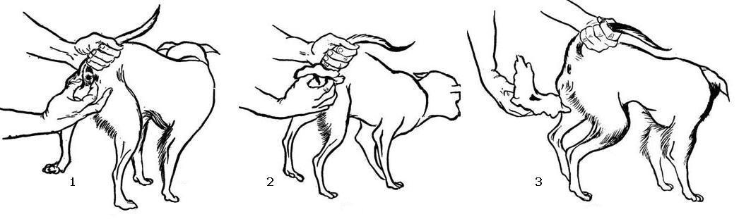 Поэтапная чистка параанальных желез у собак