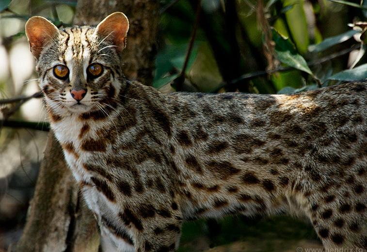 По другой версии нынешние кошки произошли от азиатской дикой кошки