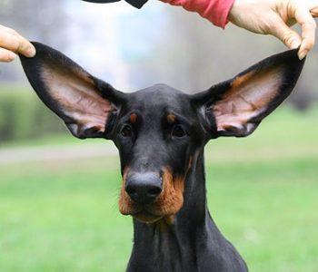 По мнению многих бридеров, висячие уши уродуют добермана