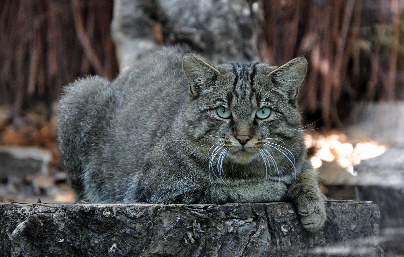 По научным данным нынешние кошки произошли от лесных котов