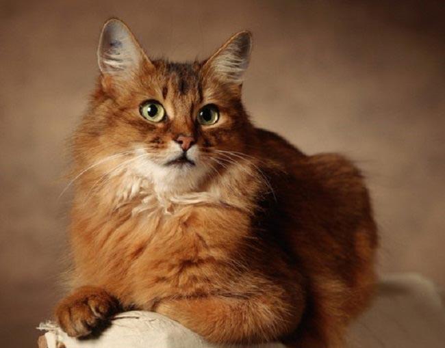 Предками сомалийских кошек являются абиссинские, положившие начало этой породе