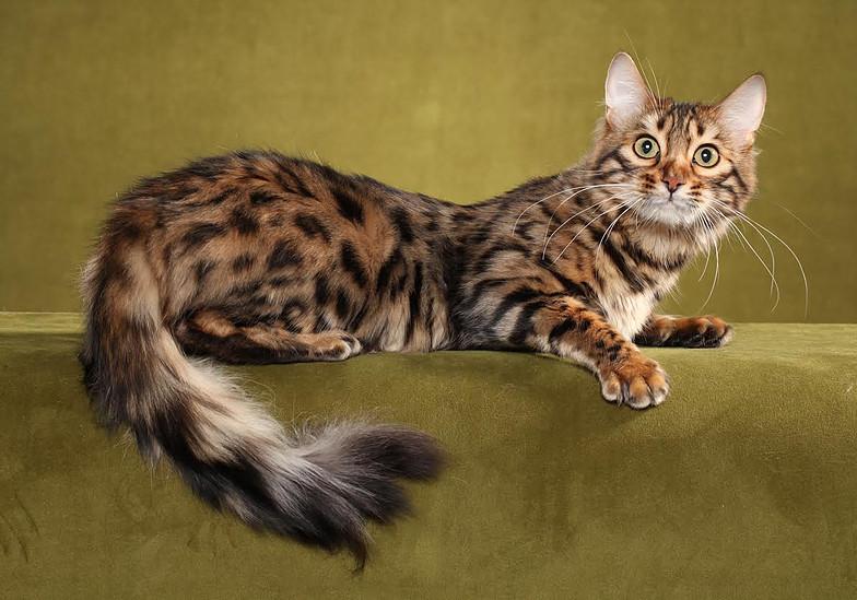 Предком бенгальской кошки является настоящий дикий леопард