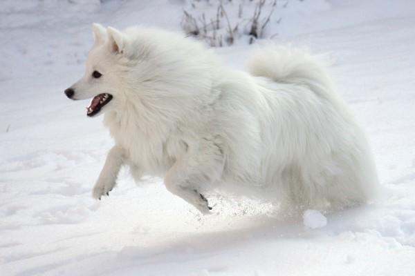 Представители данной породы просто обожают резвиться в снегу
