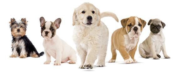 Прежде, чем выбирать алиментного щенка, изучите требования к породе, представителем которой он является