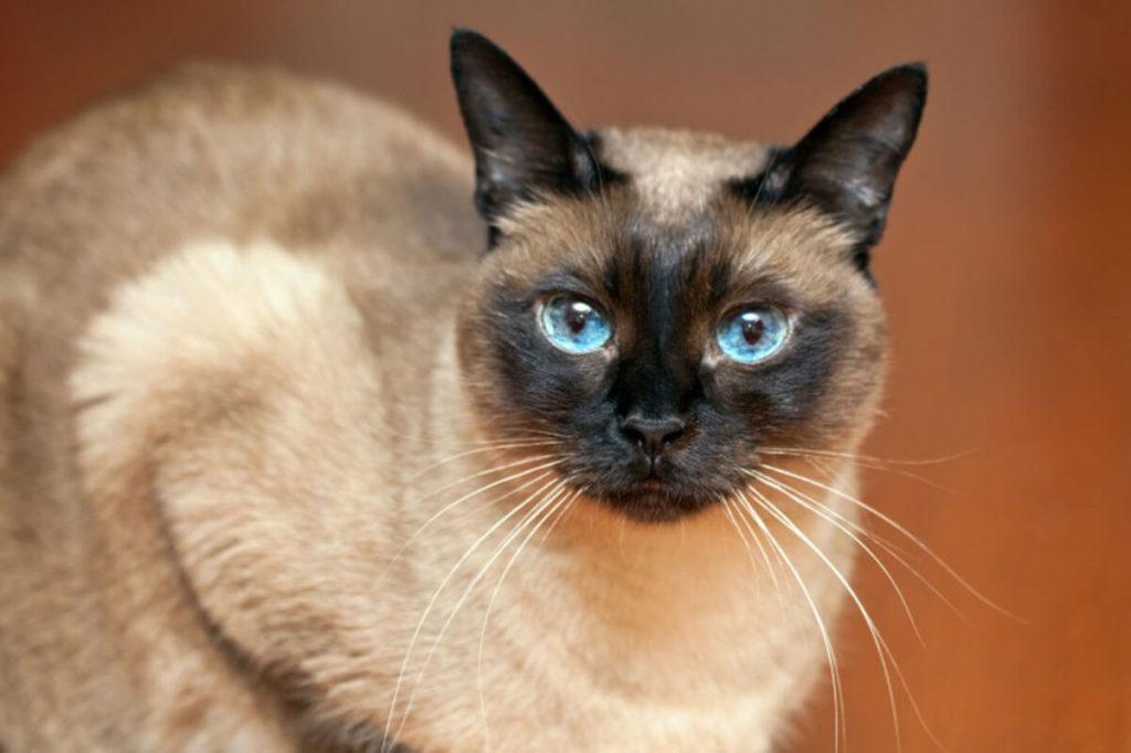 Признание различных окрасов сиамских кошек шло постепенно