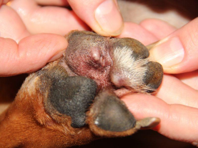 Пример грибка на лапе у собаки