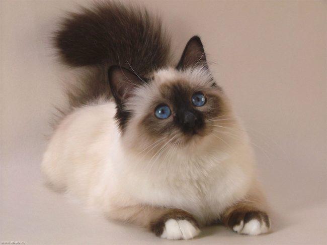 К сожалению, подделывание породистых котят широко распространено при покупке с рук