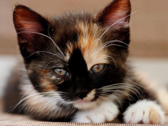 Присутствие трехцветной кошки в доме привлекало удачу и отпугивало злых духов
