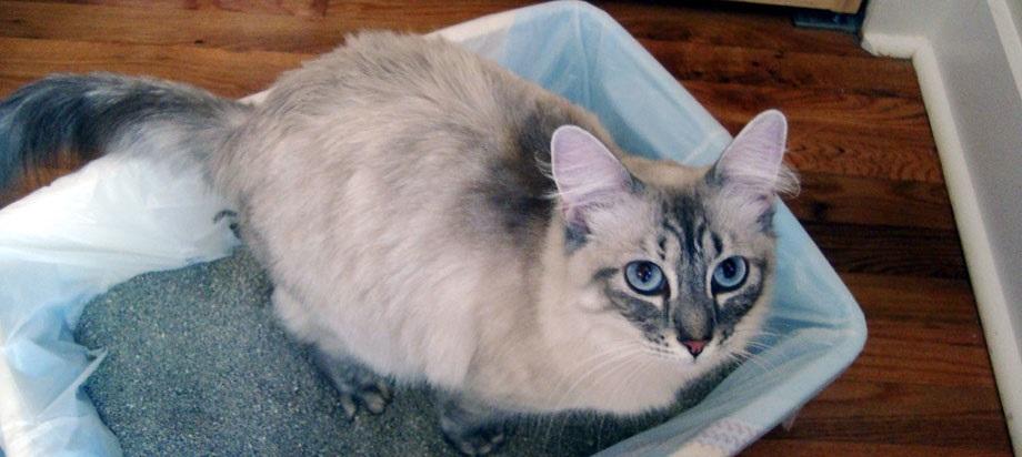 Приучить взрослую кошку к лотку сложнее