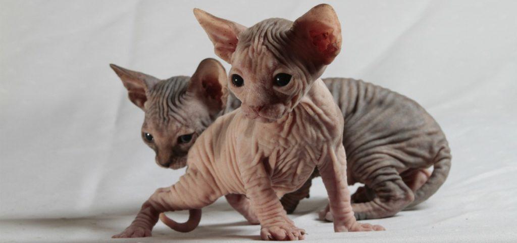 При выборе котов аллергикам советуется обращать внимание на особей, у которых и вовсе нет подшерстка