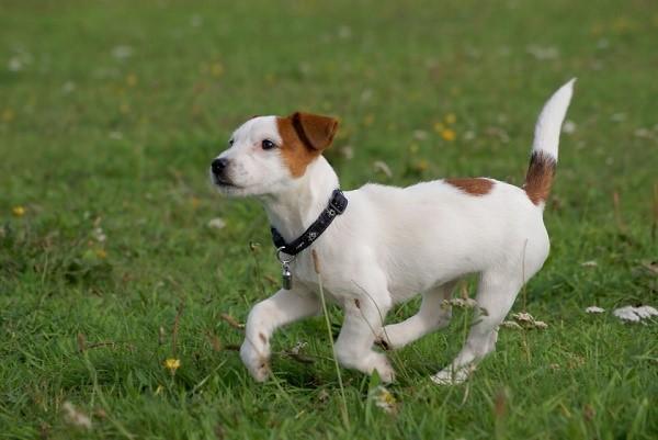 При выбор алиментного щенка обязательно обращайте внимание на активность всех представителей помета