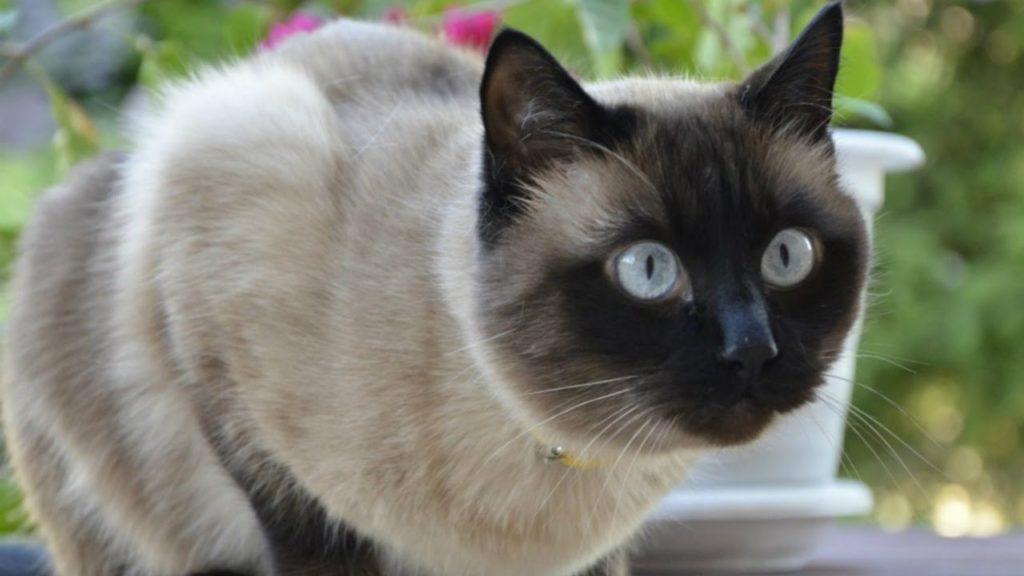 При желании защитить тех, кто ей дорог, сиамская кошка вступит в схватку и любым врагом