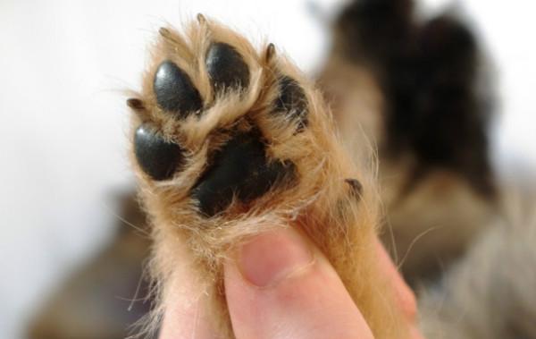 При отсутствии ухода собаки могут ощущать боль, вставая на лапы с необработанными когтями
