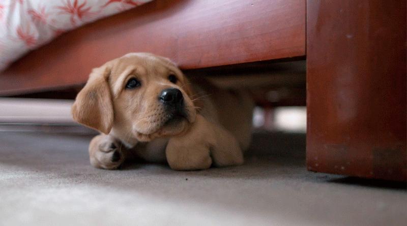 При первом попадании в дом в течение первых трех-четырех дней собака будет испытывать страх