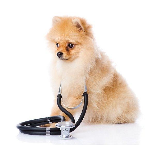 При первых симптомах несварения или пищевой аллергии у шпица необходимо обратиться к ветеринару