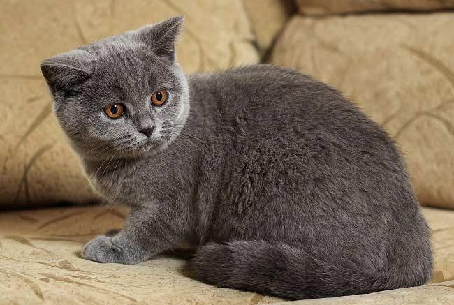 При правильном уходе британские кошки живут до 20 лет
