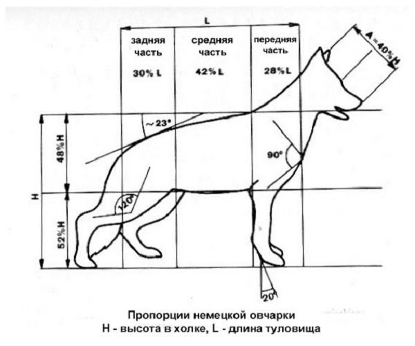 Пропорции немецкой овчарки согласно стандарту породы