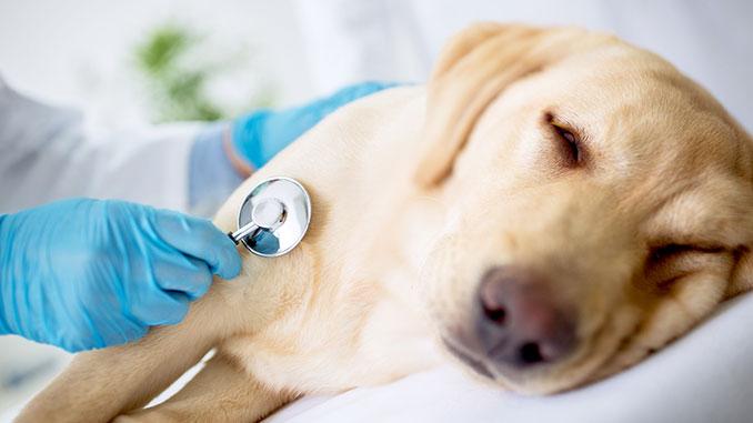 Прослушивание сердца собаки для выявления причин кашля