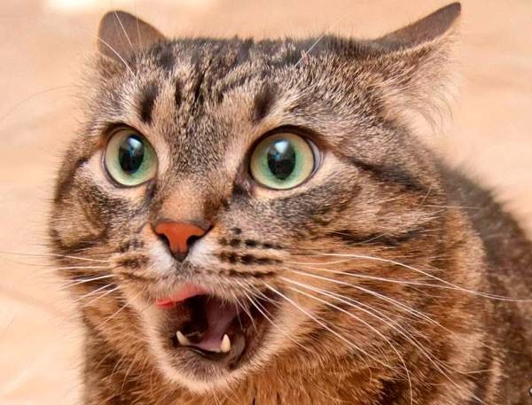 Процесс кошачьего кашля можно записать на видео, чтобы потом показать ветеринару
