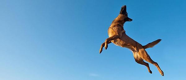 Прыгая, животное может травмироваться